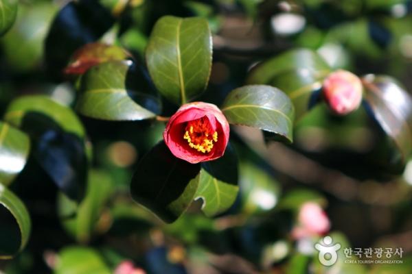 초록색 나뭇잎 사이로 핀 붉은 동백꽃