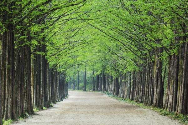 ▲ 전라남도 담양군 담양읍에 위치한 메타세콰이어길. 한국의 아름다운 길로 여러 차례 선정되기도 했다.